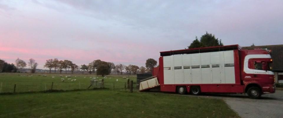 vervoer-schapen