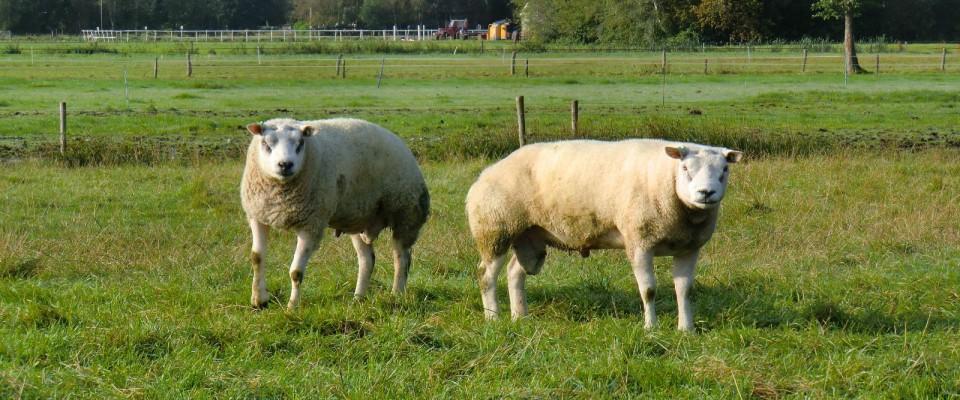 schapenhouderij